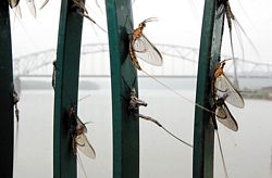 Fish flies cling to a riverfront fence Tuesday in Dubuque.