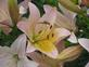 Heavy dew on lily. Taken Wednesday - July 2nd Flower garden by LaVon.