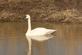 Trumpeter swan near a pond.. Taken March 11, 2017 Maquoketa, Iowa by Veronica McAvoy.