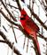 Cardinal stands out in an icy, new snowfall. Taken February 25, 2017 Backyard by Deanna Tomkins.