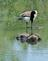 A Canada goose seems to look at itself in the water of a pond. . Taken May 25, 2020 Heritage Pond, Dubuque, IA by Veronica McAvoy.