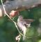Finch feeds an offspring . Taken June 19, 2017 Backyard by Deanna Tomkins.