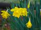 Daffodil in Bloom. Taken 4-7-20 Dubuque area  by Peggy Driscoll  .