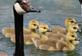 Five goslings swim with a parent goose.. Taken May 21, 2021 Althaus wetland, Asbury, IA by Veronica McAvoy.