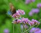 A black swallowtail landing on verbena.. Taken in August At Ohlbrich Botanical Gardens in Madison by Lorlee Servin.
