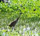 A Sandhill crane walks threw a marsh.. Taken June 4, 2021 John Deere Marsh, Dubuque, IA by Veronica McAvoy.