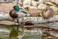 A pair of mallards rest on a birch branch over a pond. Taken May 9, 2021 Backyard, Dubuque by Deanna Tomkins.