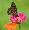 A monarch visits the butterfly garden. Taken August 18 Bellevue State Park by Lorlee Servin.