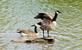 A Canada goose lifts up it's wings while perched on a log.. Taken September 12, 2021 Bergfeld  pond, Dubuque co., IA by Veronica McAvoy.