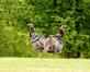 Did you say turkey for dinner?. Taken September 5, 2020 Dubuque, Iowa by Veronica McAvoy.