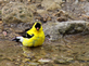 An American Goldfinch preparing to bathe in the Catfish Creek. Taken May 20, 2016 at the Swiss Valley Nature Center by Gary Hillard .