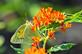 Orange Sulphur Butterfly on a showy Butterfly Weed plant.  Taken August 13, 2019 Dubuque  by Deanna Tomkins.