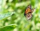Monarch flies to Milkweed plant. Taken August 16, 2017 Backyard, Dubuque by Deanna Tomkins.