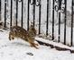 Cottontail hops along a snowy bunny trail . Taken December 11, 2017 Backyard, Dubuque  by Deanna Tomkins.