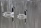 Two Canadian geese reflect off the waters of the Mississippi river.. Taken March 10, 2017 East Dubuque, Illinois by Veronica McAvoy.