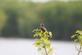 Song sparrow sings his/her heart out for a mate at river's edge.. Taken April 25, 2017 Bank of Mississippi river. by Veronica McAvoy.