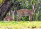 Doe and fawn stand at attention at entrance of a nature preserve. Taken August 11, 2018 Green Island Nature Preserve by Deanna Tomkins.
