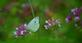 A cabbage white butterfly rests on a flower. Taken August 11th Bellevue State Park by Lorlee Servin.