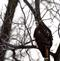 Red-tailed hawk with an intense glare. Taken January 1, 2017 Massey Station Road by Deanna.