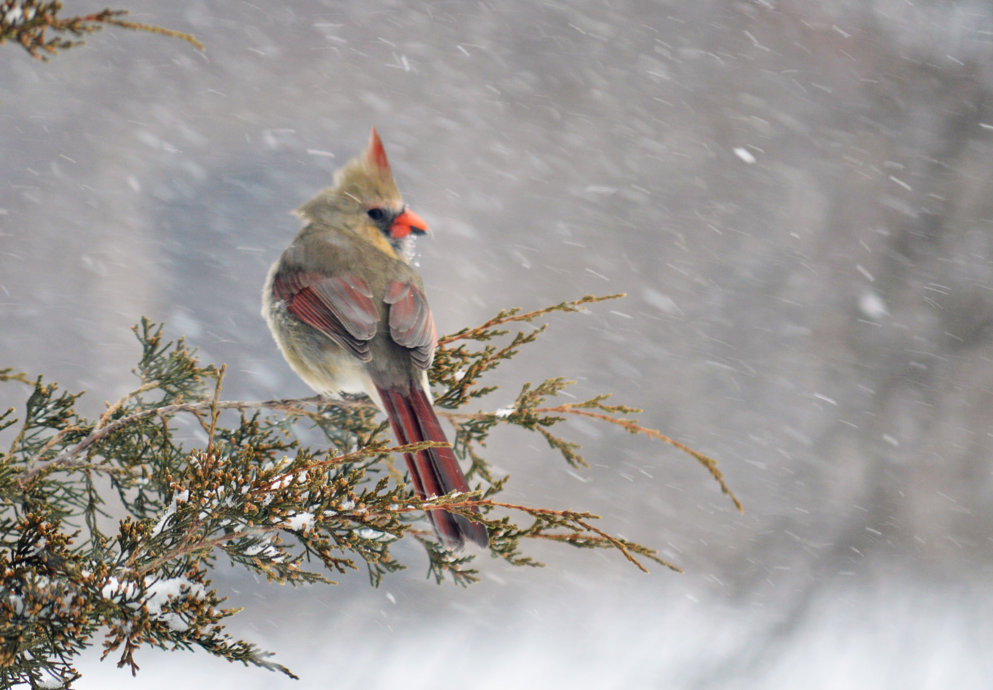 Female Cardinal. Taken march 2014 bellevue Iowa by Laura Schuster.