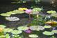 A lily among the lily pads. Taken in August At Ohlbrich Botanical Gardens in Madison by Lorlee Servin.