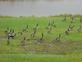 Canadian geese on the move waiting for flight.. Taken Sept 20, 2018 South of Dubuque by Judy Lewis.