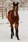 A young horse with snow on it's nose!. Taken January 30. 2021 East Dubuque, ILL by Veronica McAvoy.