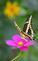 A swallowtail visits the butterfly garden. Taken August 18 Bellevue State Park by Lorlee Servin.