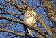 A red tail hawk sits very still on a cold morning.. Taken November 19, 2017 Dubuque, Iowa by Veronica McAvoy.