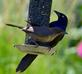 Brewer's Blackbird with offspring at feeder. Taken June 18, 2016 Backyard, Dubuque by Deanna Tomkins.