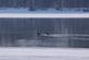 Two geese swim on open water of the Mississippi river early morning.. Taken February 13, 2018 Mines of Spain, Dubuque, IA by Veronica McAvoy.