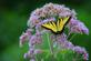 A swallowtail spreads its wings. Taken August 11th Bellevue State Park by Lorlee Servin.