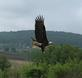 Eagle. Taken 5/22/18 Sherrill Road by Julie Donovan .