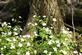 Rue anemone wild flowers grow by a tree stump.. Taken April 25, 2017 Heritage trail by Veronica McAvoy.