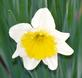 Daffodil in Bloom . Taken 04-08-21 Dubuque area             by Peggy Driscoll           .
