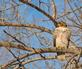 Red-tailed Hawk surveys the ground for a meal. Taken February 16, 2021 Dubuque by Deanna Tomkins.