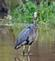 This IS my costume. Blue Heron stalking fish. Taken October 6, 2019 Massey Station, Dubuque County by Deanna Tomkins.