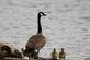 Mother goose stands along shore with goslings.. Taken April 25, 2017 Bank of Mississippi river. by Veronica McAvoy.