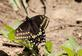 A black swallowtail butterfly rests on a plant.. Taken May 4, 2021 John Deere Marsh, Dubuque, IA by Veronica McAvoy.