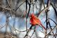 A cardinal bears the cold on the first day of the year. Taken Jan 1 in my yard in Dubuque by Lorlee Servin.
