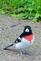 A rose breasted grosbeak visits my yard.. Taken May 13 In Dubuque by Lorlee Servin.