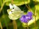 Cabbage white butterfly rests on wild flower.. Taken September 23, 2019 Bergfeld  pond, Dubuque co., IA by Veronica McAvoy.