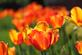 Tulip time at the University of Dubuque.. Taken April 25,2017 University of Dubuque by Veronica McAvoy.