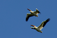 American White Pelicans. Taken May 20, 2016 at the Mines of Spain by Gary Hillard.