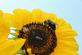 Two bees collect nectar on a sunflower.. Taken August 4, 2018 West 6th Street, Dubuque, IA by Veronica McAvoy.