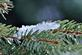 Snow melts on pine branches.. Taken February 21, 2021 Dubuque, Iowa by Veronica McAvoy.