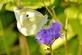 A cabbage white butterfly rests on a purple wildflower.. Taken September 23, 2019 Bergfeld  pond, Dubuque co., IA by Veronica McAvoy.