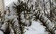 Branches on a bush show snow coverage.. Taken April 9, 2018 Julian Dubuque Drive, Dubuque,IA by Veronica McAvoy.
