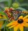 A monarch on a blanket flower. Taken in August At Ohlbrich Botanical Gardens in Madison by Lorlee Servin.