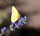 Yellow sulphur butterfly enjoys a nip of nectar from catnip flower. Taken October 21, 2016 Dubuque Arboretum and Botanical Gardens by Deanna Tomkins.